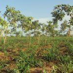Petit mil sous les arbres issus de la régénération naturelle assistée (RNA) les feuilles mortes améliorent la fertilité des sols