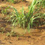 Retention de l'eau et de l'humidité sous un pied de mil grace à la technique du Zaï